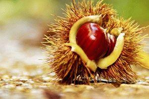 Gesztenye héja tinktúra prosztata, mi a prosztata adenoma, jelek, a kezelés okai.
