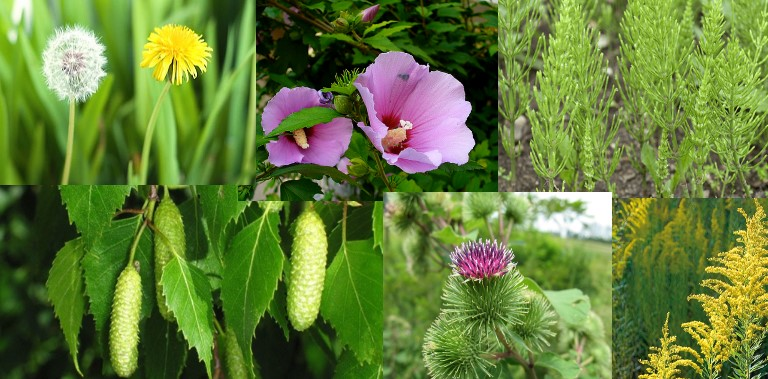 vizelethajtó gyógynövények visszér ellen
