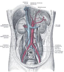a belső szervek visszérje az