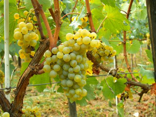 szőlő visszér visszér terhesség mit kell tenni