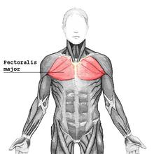 Az ember belső szervei, fali oktatótabló