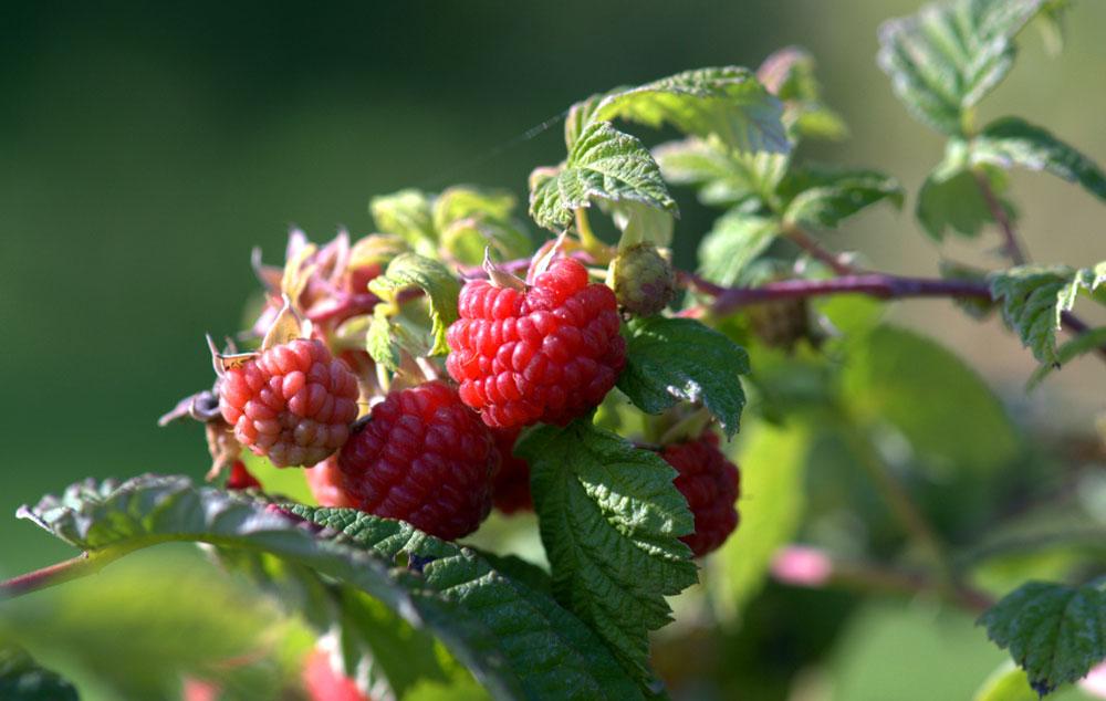 Györgytea Erdei málna (Rubus idaeus) - Györgytea gyógynövényleírás