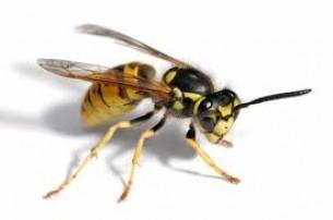 méhcsípés visszeres