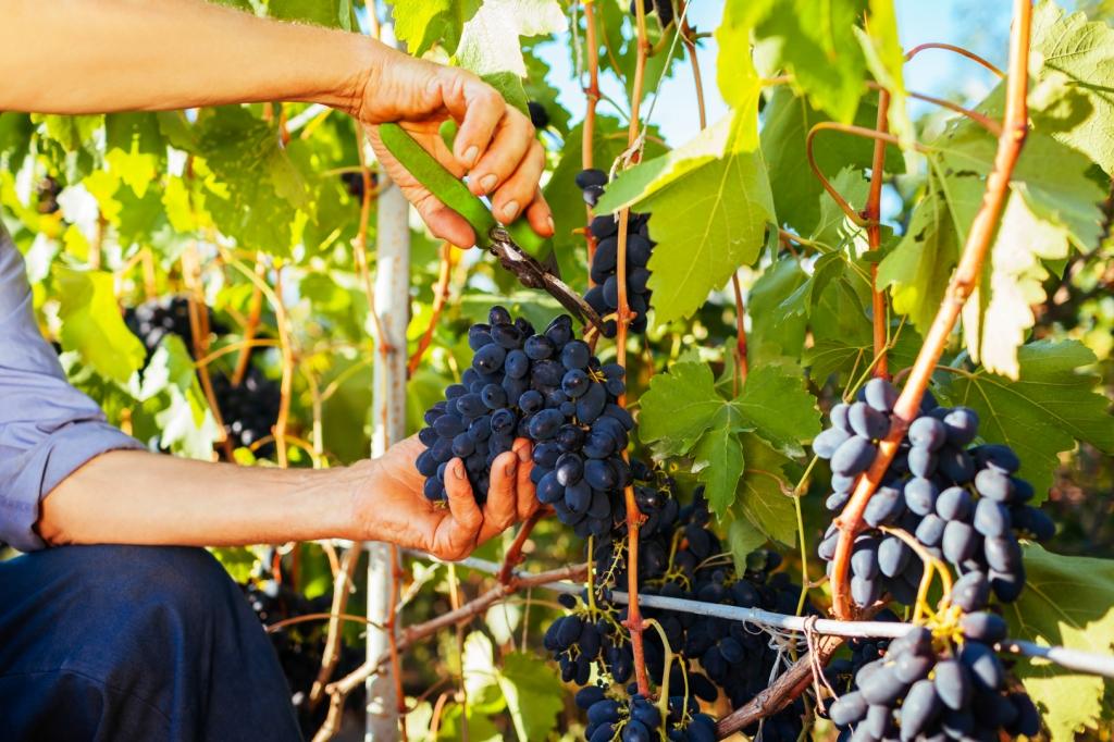 visszér szőlő