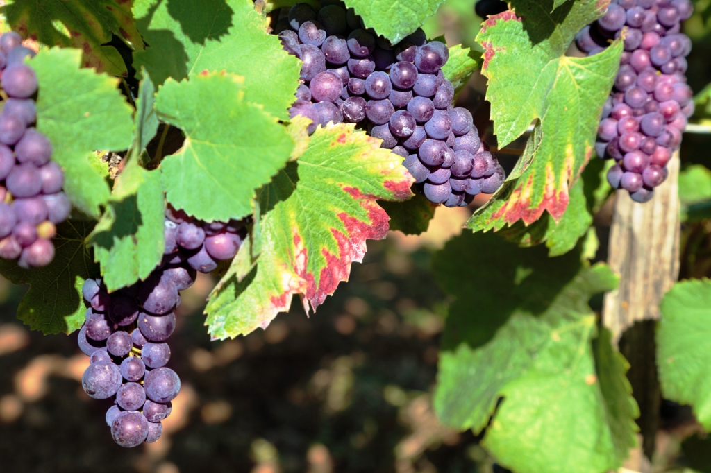szőlő visszér