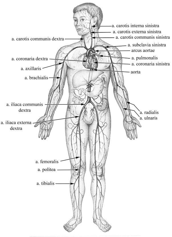 A Tiason Érrendszeri ultrahang viszgálatai (mélyvénás ultrahang)