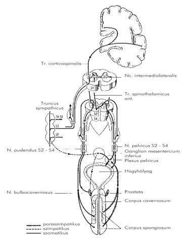 ureaplasma és visszér