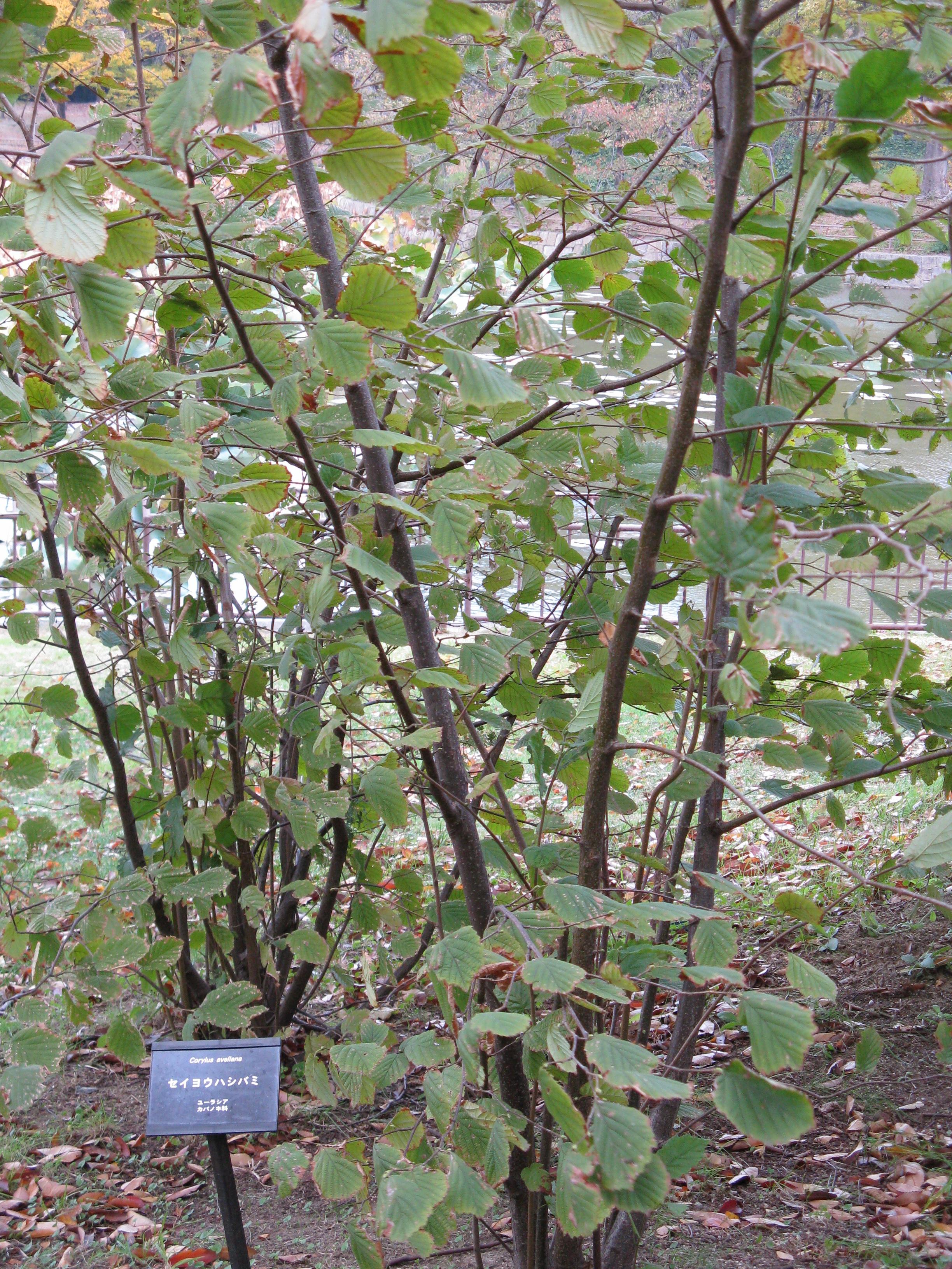 mogyoró levelek visszér kezelésére