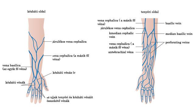 visszér és artéria